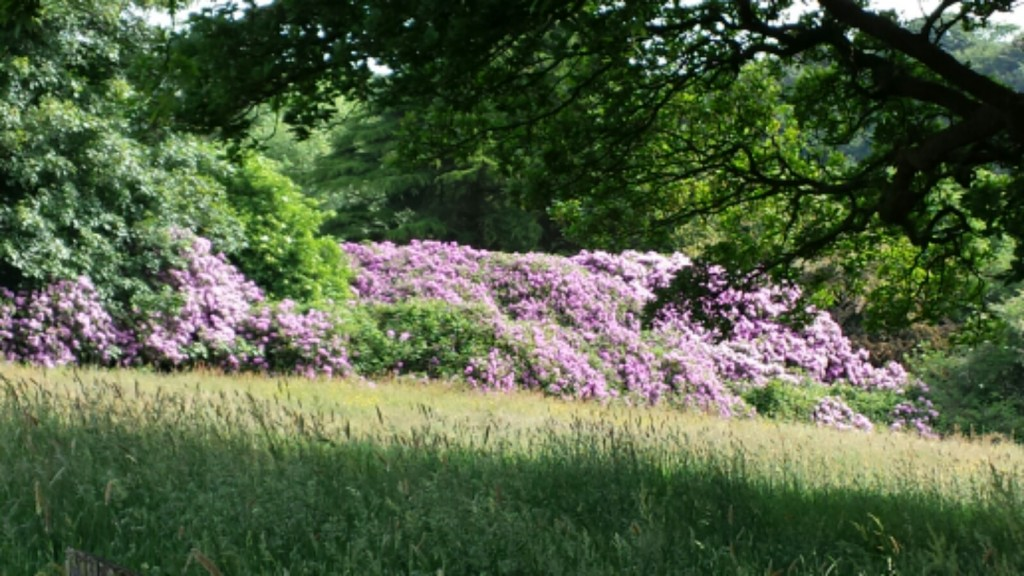Rhododendrons by Anglezarke