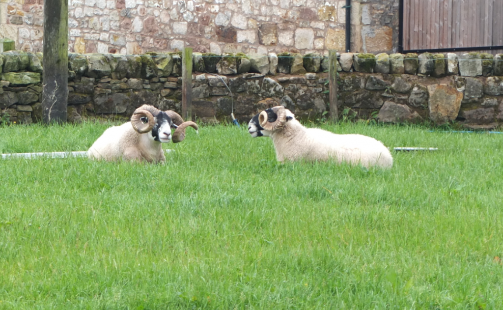 Rams gathering their strength for the Autumn