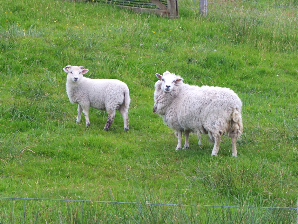 Hardy sheep