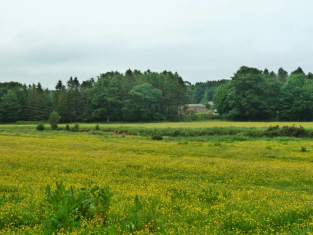 Annandale buttercup field