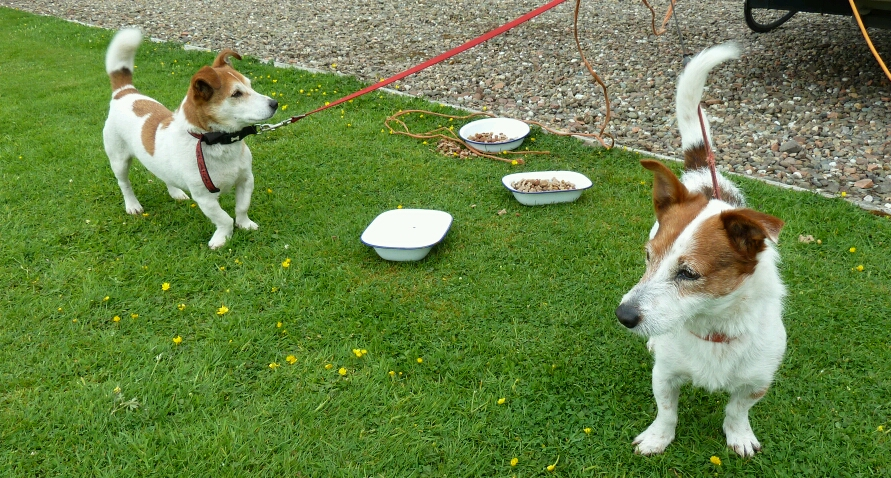 Enzo and Patch, Glynne and Sue's terriers