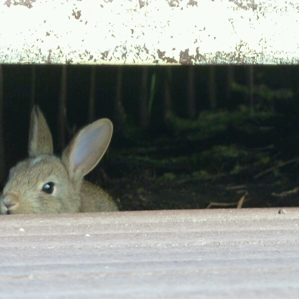 Rabbit hiding under the boardwalk